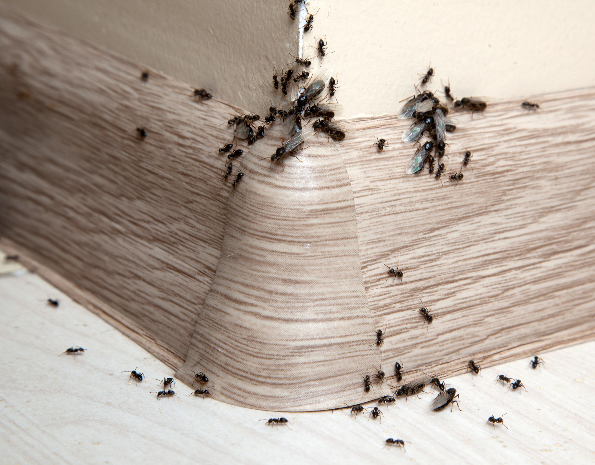 Ant Infestation, Pest Control in Archway, N19. Call Now 020 8166 9746