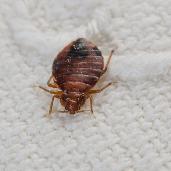 Bed Bugs, Pest Control in Archway, N19. Call Now! 020 8166 9746