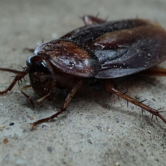 Cockroaches, Pest Control in Archway, N19. Call Now! 020 8166 9746