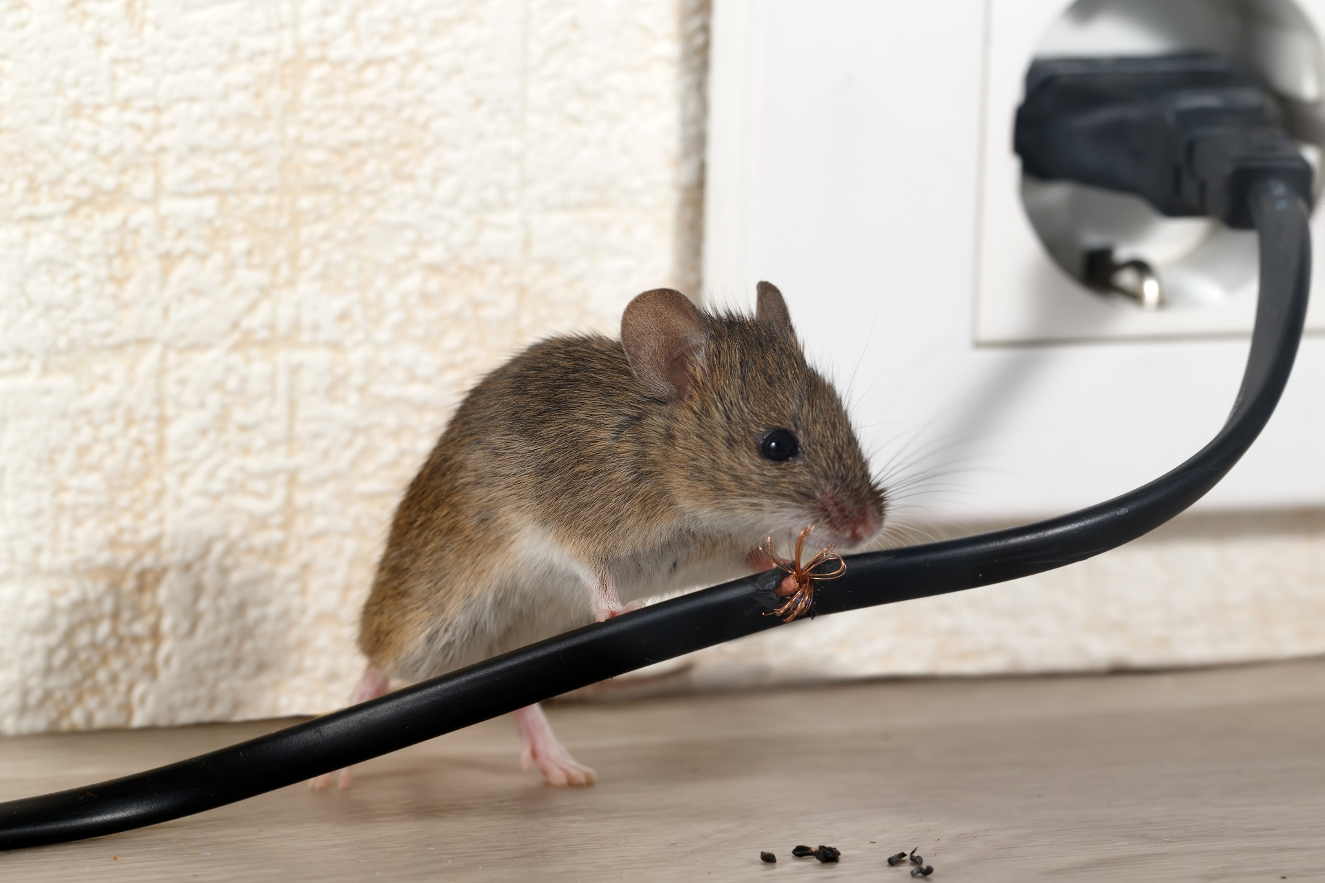 Mice Infestation, Pest Control in Archway, N19. Call Now 020 8166 9746