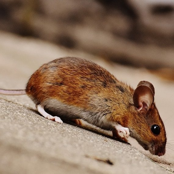 Mice, Pest Control in Archway, N19. Call Now! 020 8166 9746