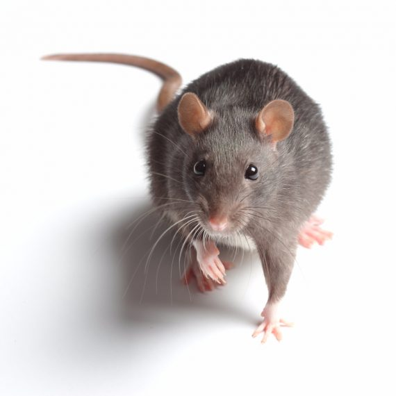Rats, Pest Control in Archway, N19. Call Now! 020 8166 9746