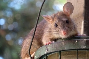 Rat Control, Pest Control in Archway, N19. Call Now 020 8166 9746