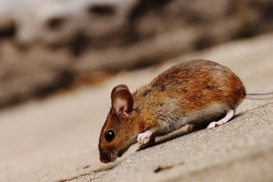 Mice Exterminator, Pest Control in Archway, N19. Call Now 020 8166 9746