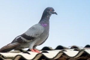 Pigeon Pest, Pest Control in Archway, N19. Call Now 020 8166 9746